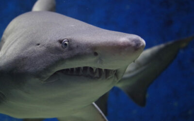 What is Galeophobia and How to Overcome Fear of Sharks Phobia?
