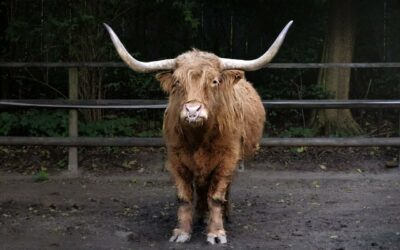 What is Taurophobia and How to Overcome Fear of Bulls?